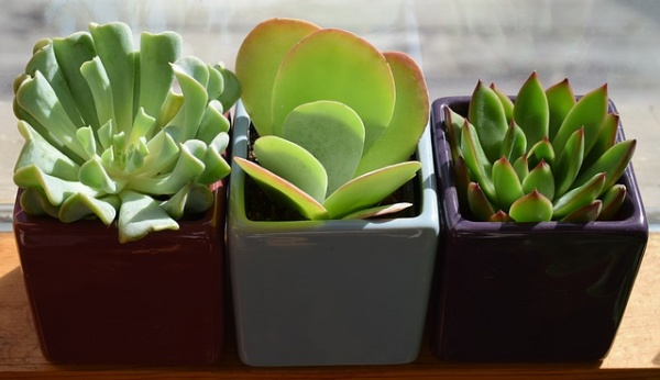 Succulents Are the Perfect Plant for New Gardeners